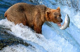 alaska-bear-fishing