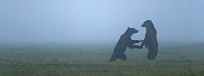 Brown Bears in Mist, Russia, by Michael Melford