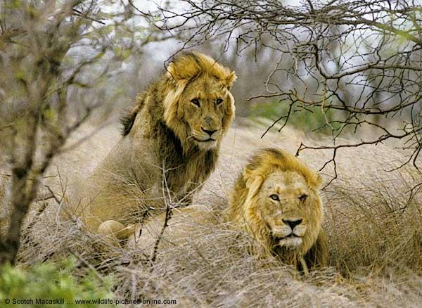 http://scienceblogs.com/primatediaries/wp-content/blogs.dir/446/files/2012/04/i-bc76a361d9bbb550f005557d1081aa35-lions_knp-ns18.jpeg