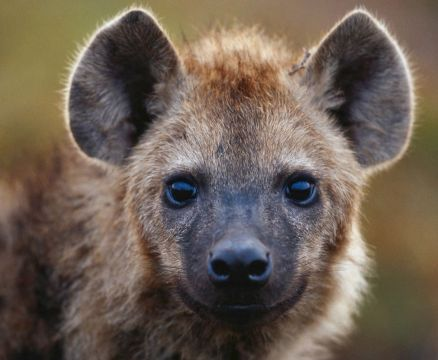 http://www.wallsave.com/wallpapers/1280x1024/ram-nature/571335/ram-nature-hyena-animal-571335.jpg