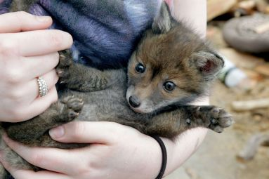 http://www.dailypost.co.uk/news/local-news/orphaned-fox-cub-found-side-3408655