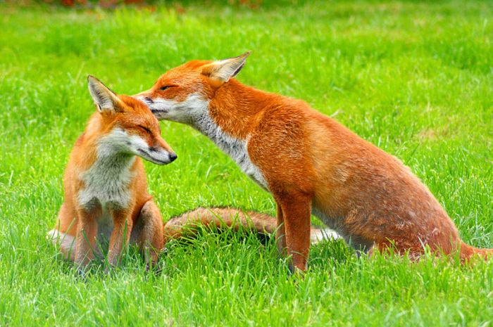 http://en.wikipedia.org/wiki/File:Red_Fox_(Vulpes_vulpes)_-British_Wildlife_Centre-8.jpg